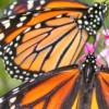 ECOLOGY: Butterflies in Edmonton, explained