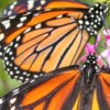 ECOLOGY: Butterflies in Edmonton, explained